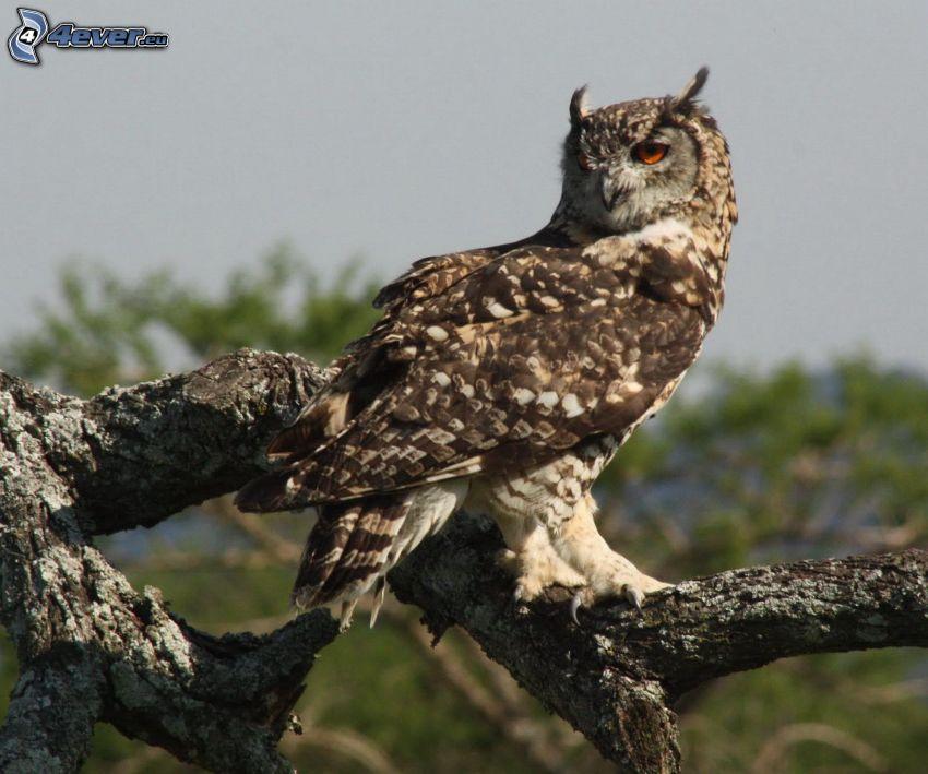 eagle-owl, wood