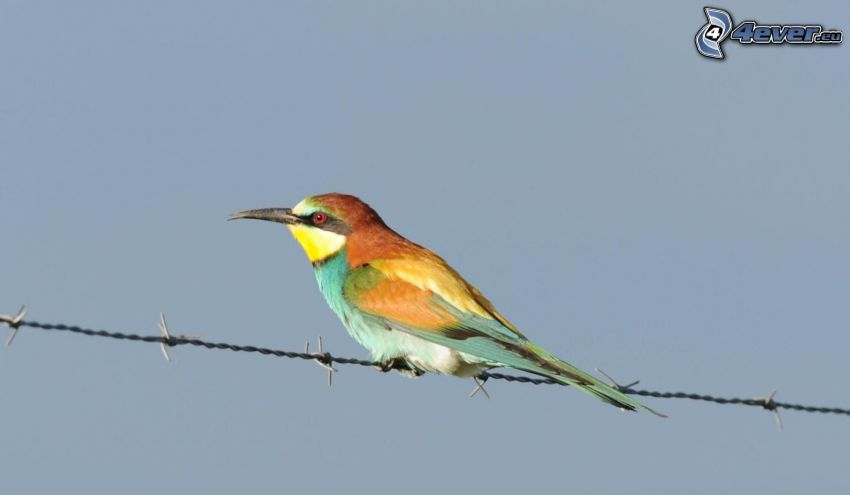 European Bee-eater, barbed wire