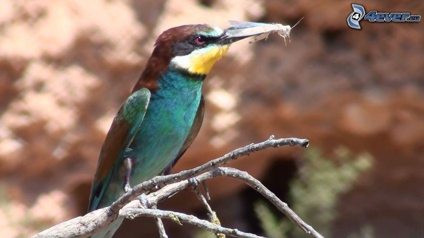 European Bee-eater, butterfly
