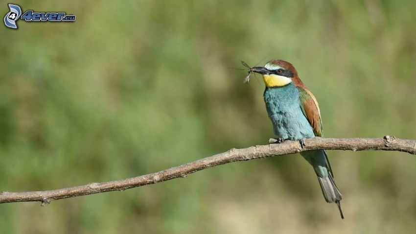European Bee-eater, mosquito, bird on a branch