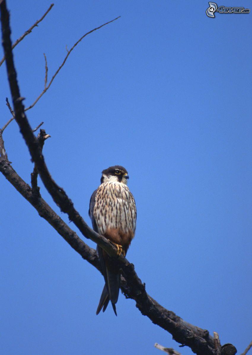falcon, bird on a branch