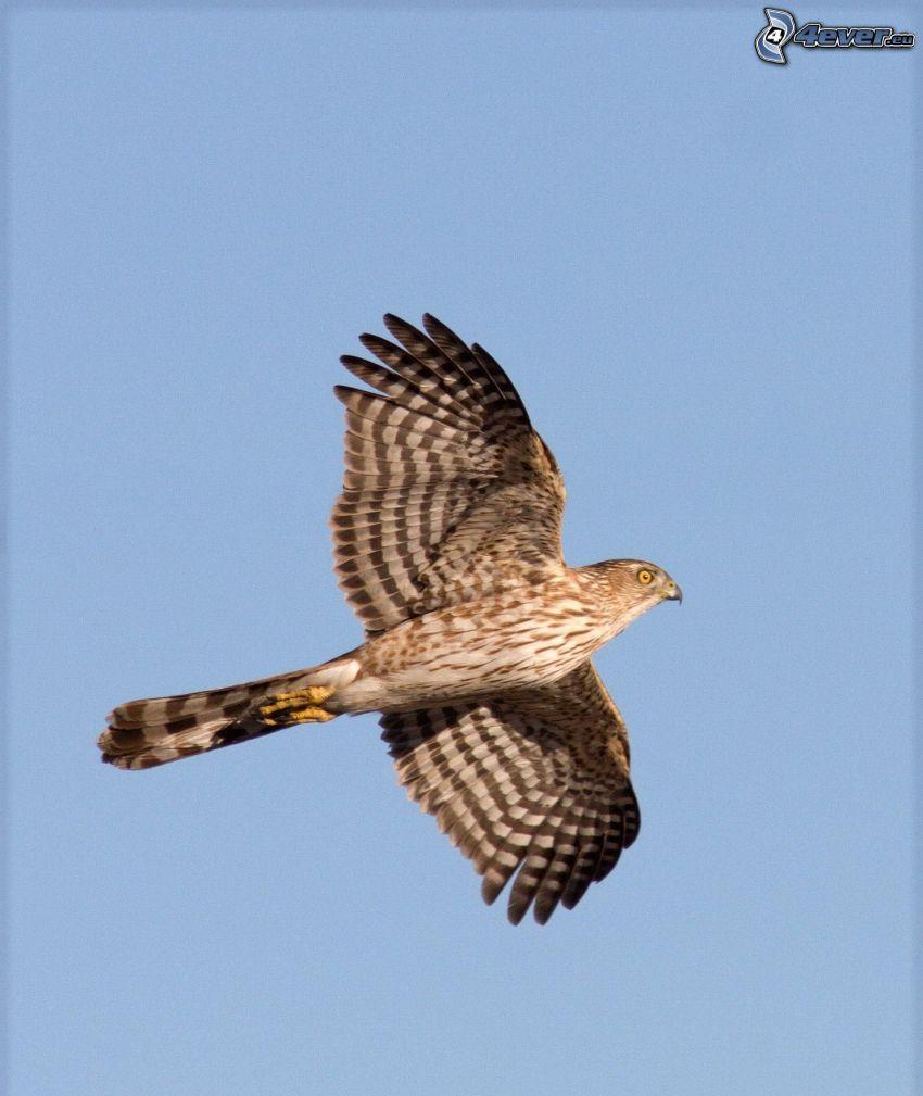 falcon, flight, blue sky