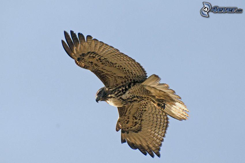 falcon, flight, wings