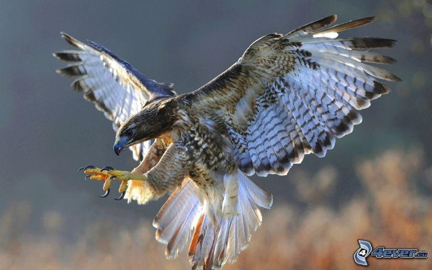 falcon, landing, wings