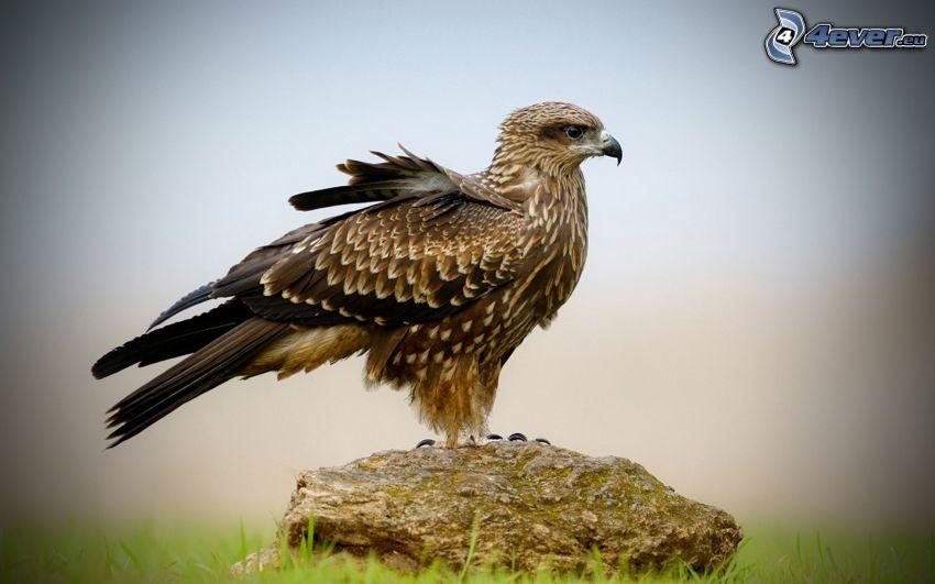 falcon, stone
