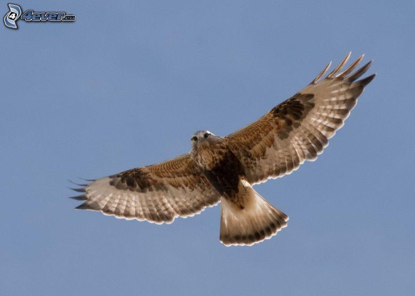 falcon, wings