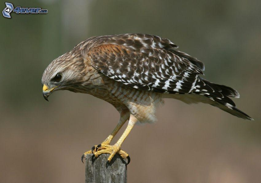 falcon, wood