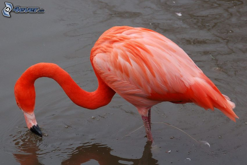 flamingo, water