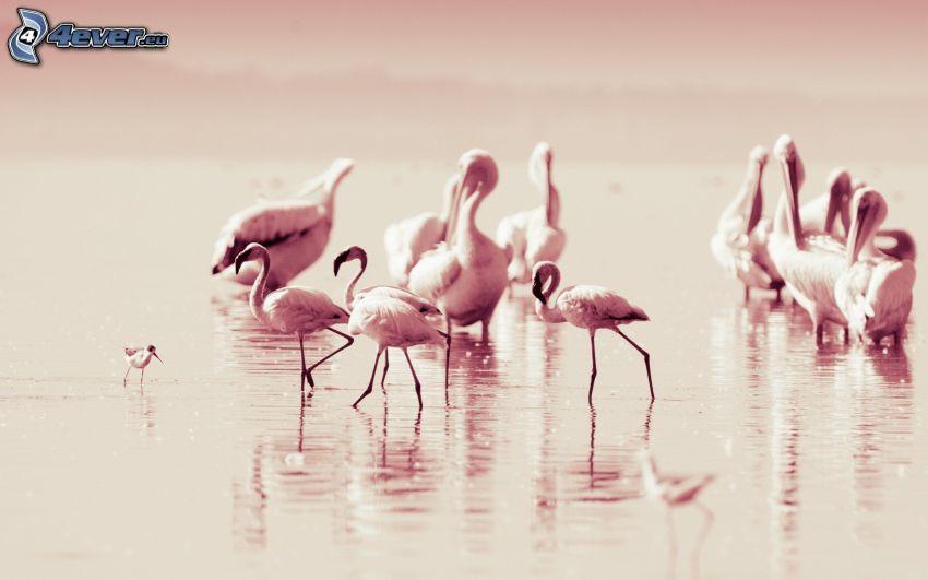 flamingos, lake