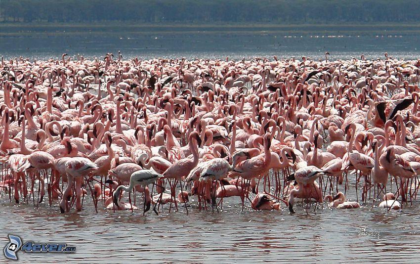 flamingos, Nakuru, lake