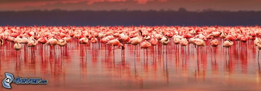 flamingos, Nakuru, lake