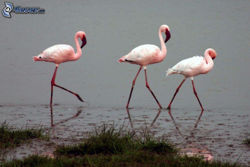 flamingos, water