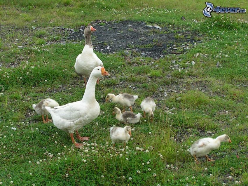 geese, cubs, grass