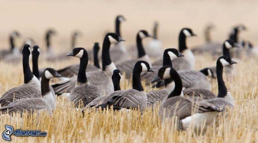 geese, field