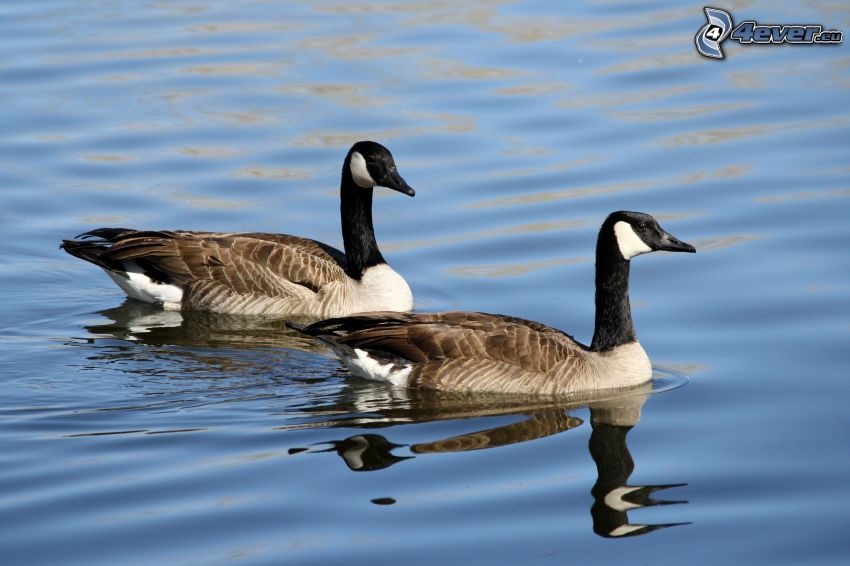 geese, water surface