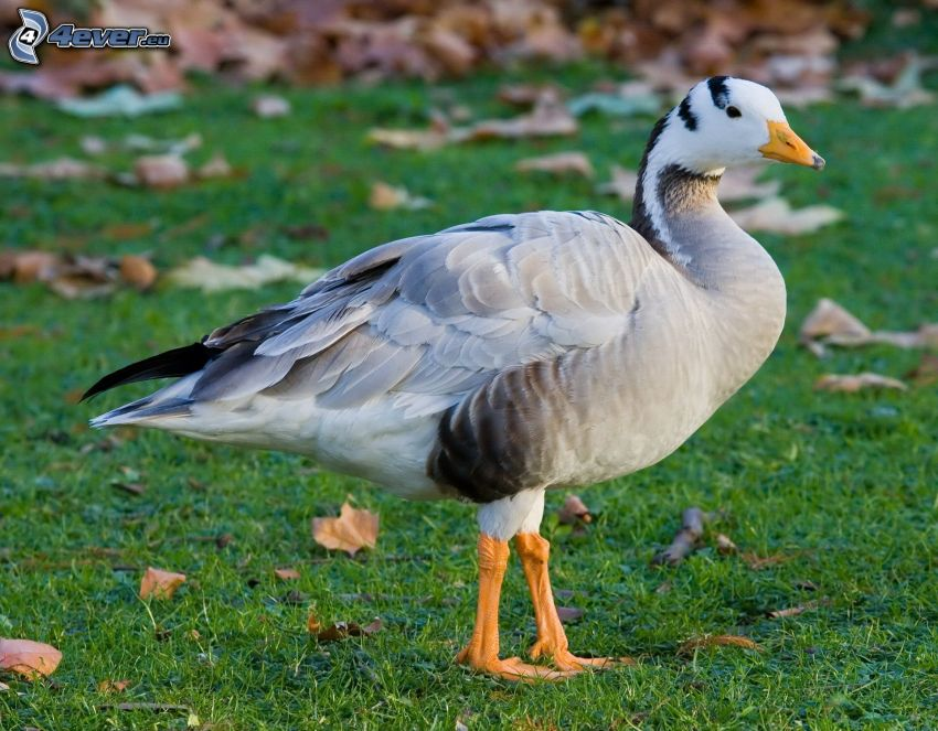 goose, grass, fallen leaves