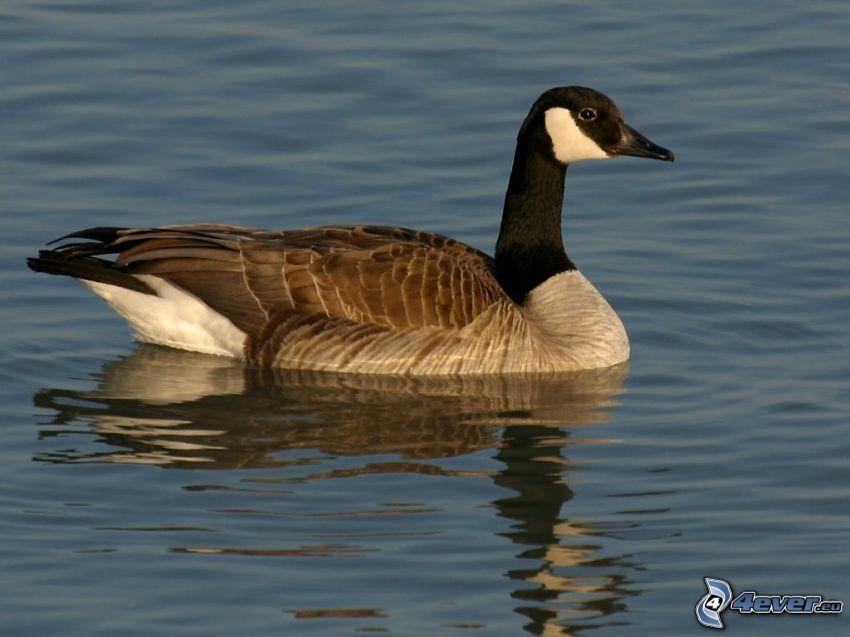 goose, water surface