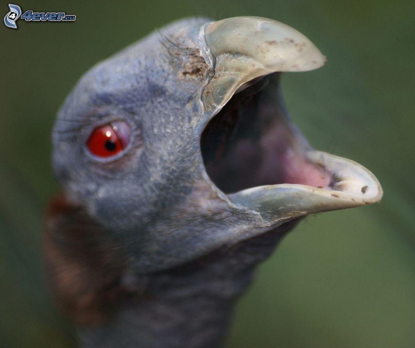 Guinea fowl, beak