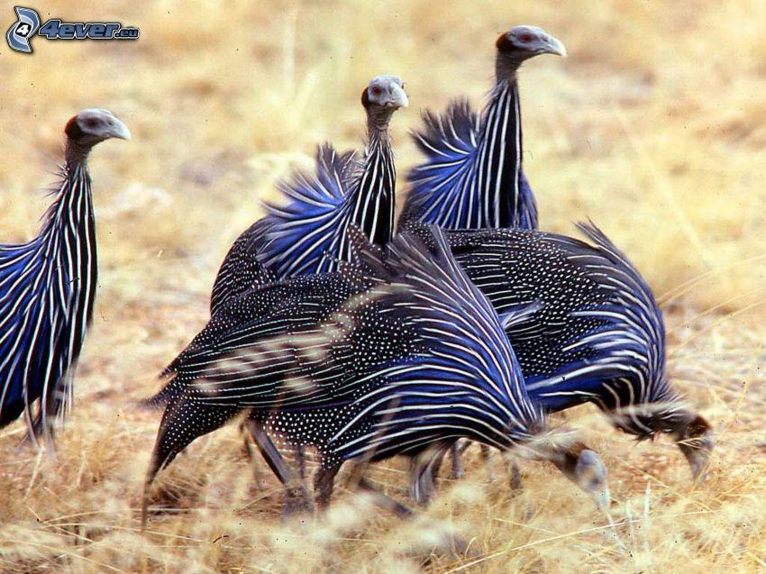 Guinea fowl, birds