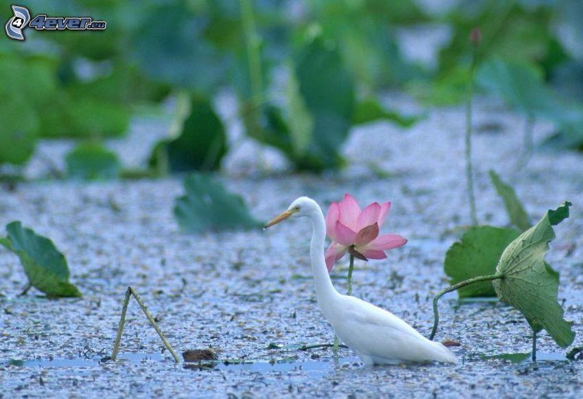heron, swamp, pink flower