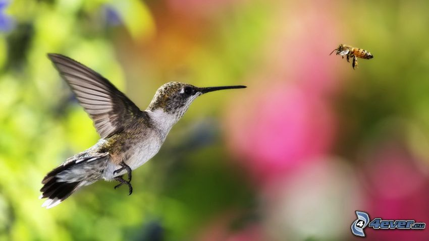 hummingbird, bee