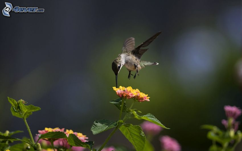 hummingbird, bird, flowers