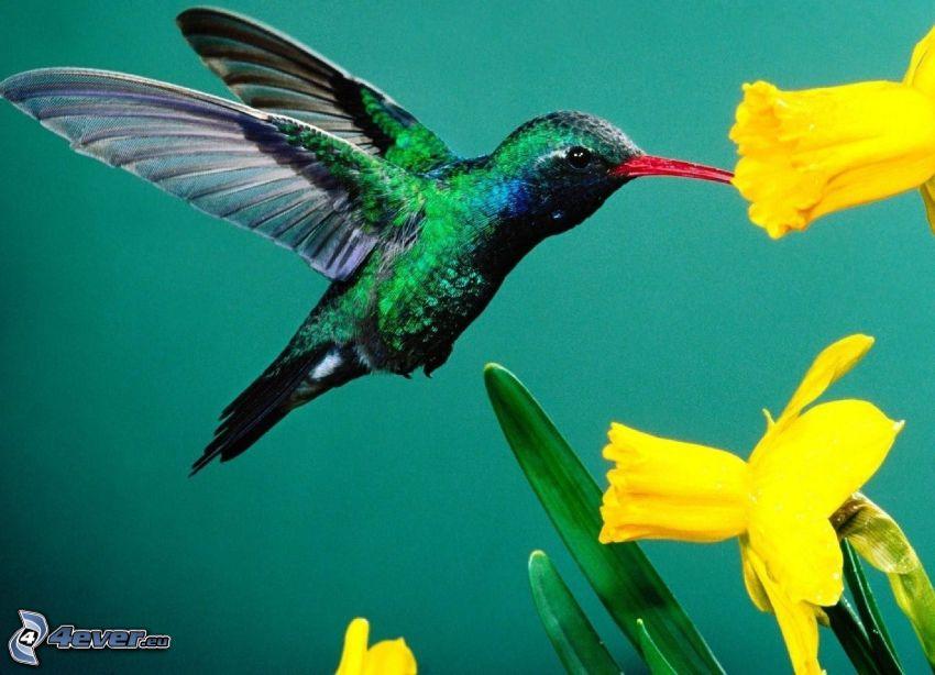hummingbird, daffodils