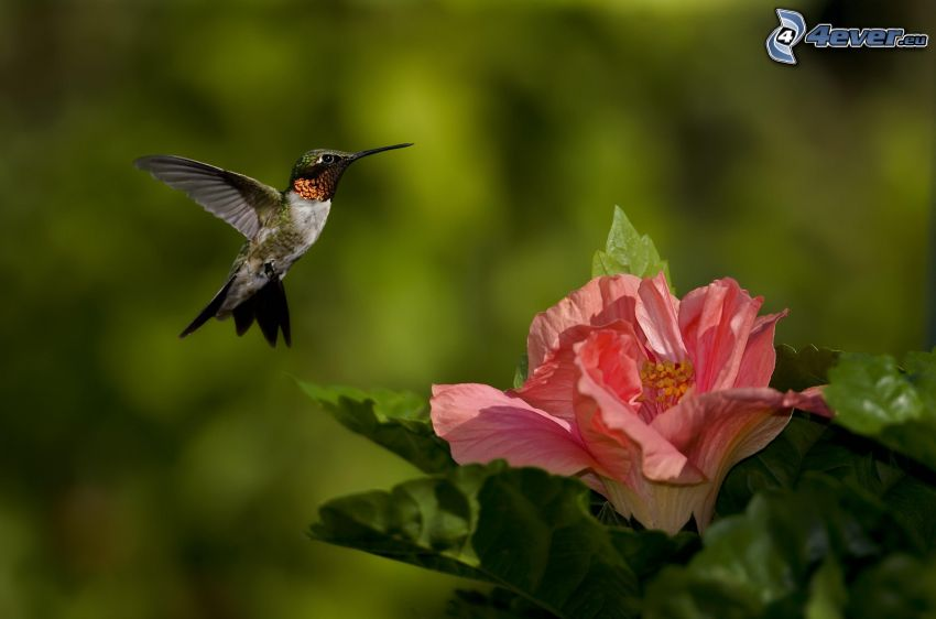 hummingbird, pink flower