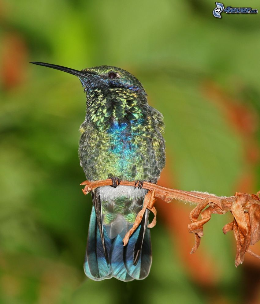 hummingbird, plant