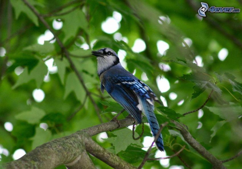 jay, blue bird, tree
