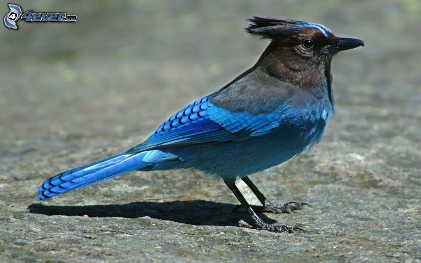 jay, blue bird