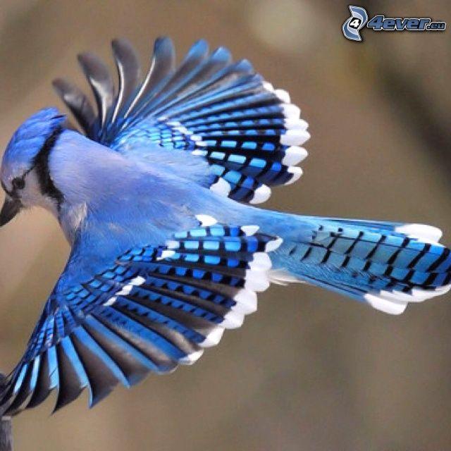 jay, flight