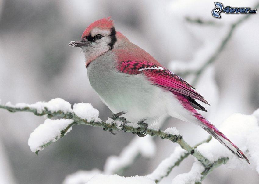 jay, snowy branch