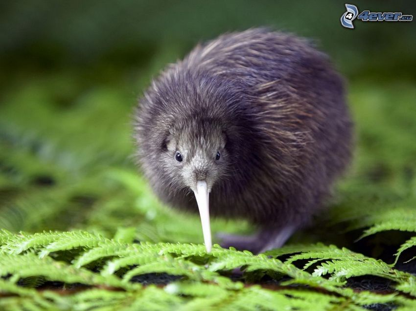 kiwi bird, ferns