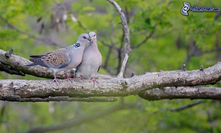 lovebirds, branches