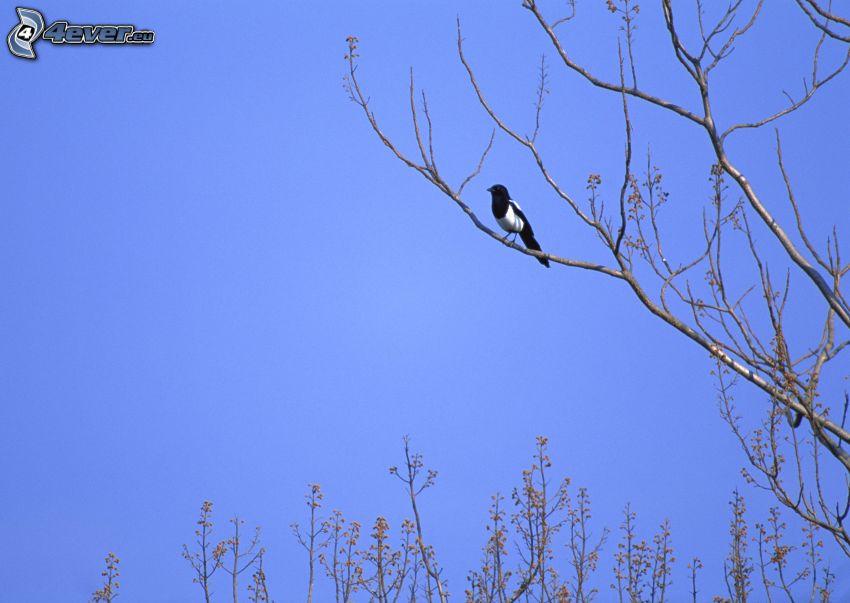 magpie, bird on a branch
