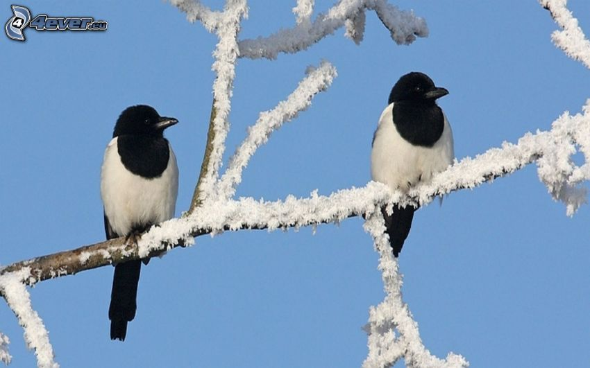 magpies, branch, icing