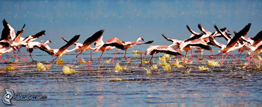 Nakuru, lake, flamingos