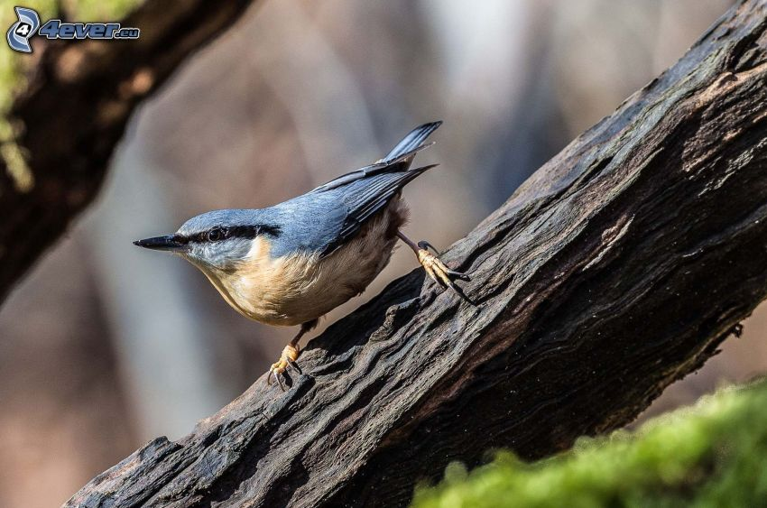 nuthatch, branch
