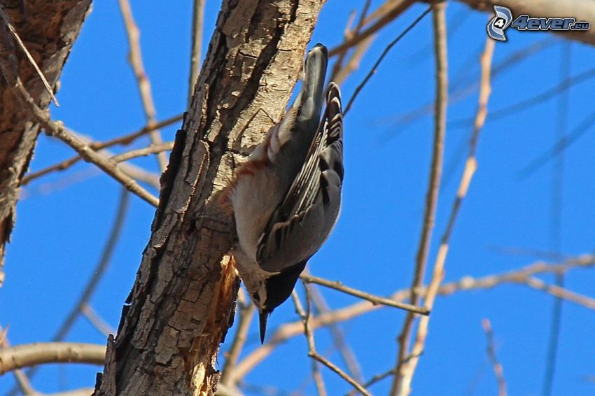 nuthatch, branches