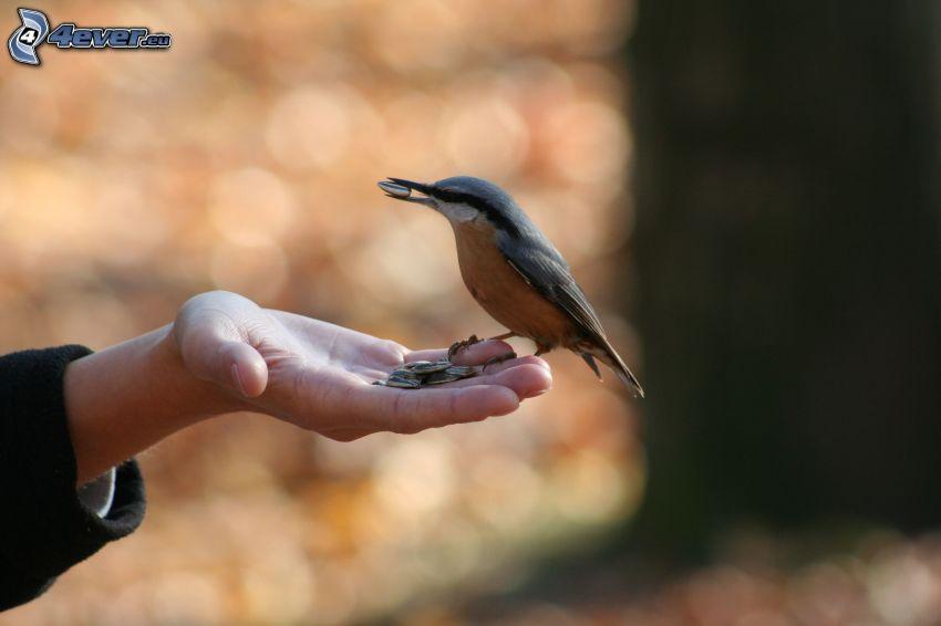 nuthatch, hand, seeds
