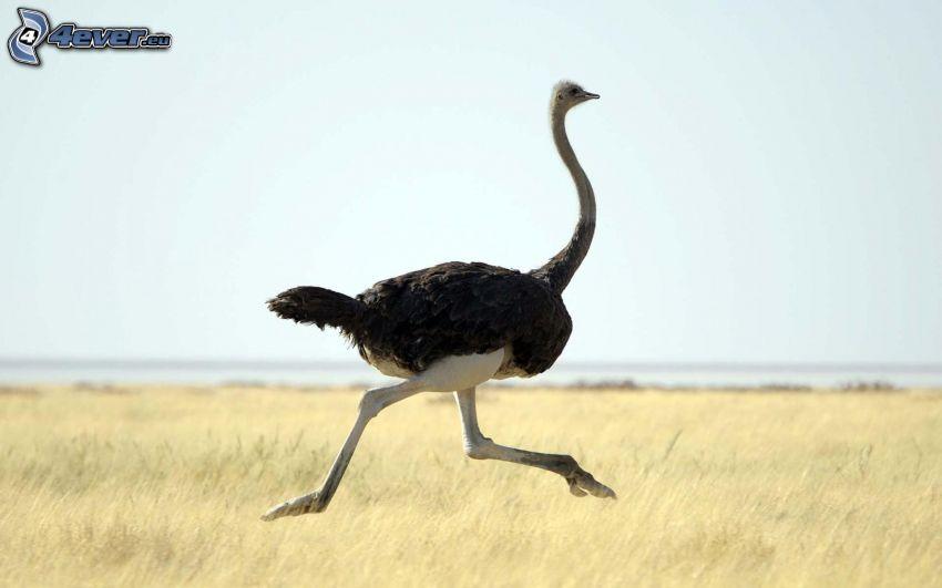 ostrich, running