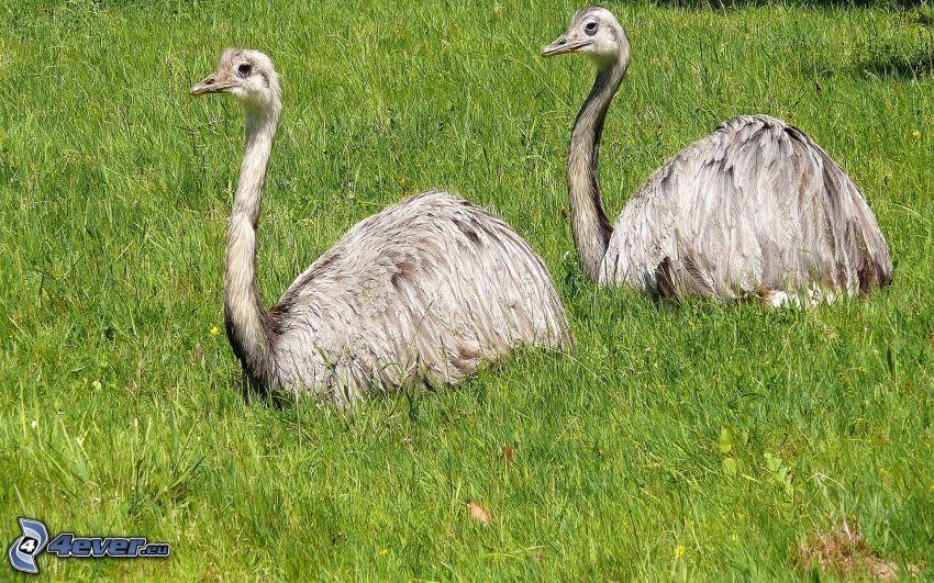 ostriches, green grass
