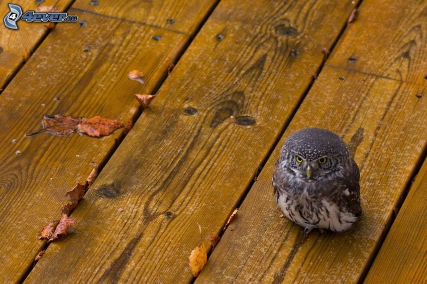 owl, boards, dry leaves