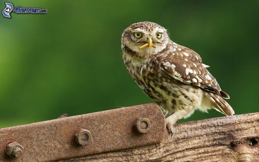owl, caterpillar