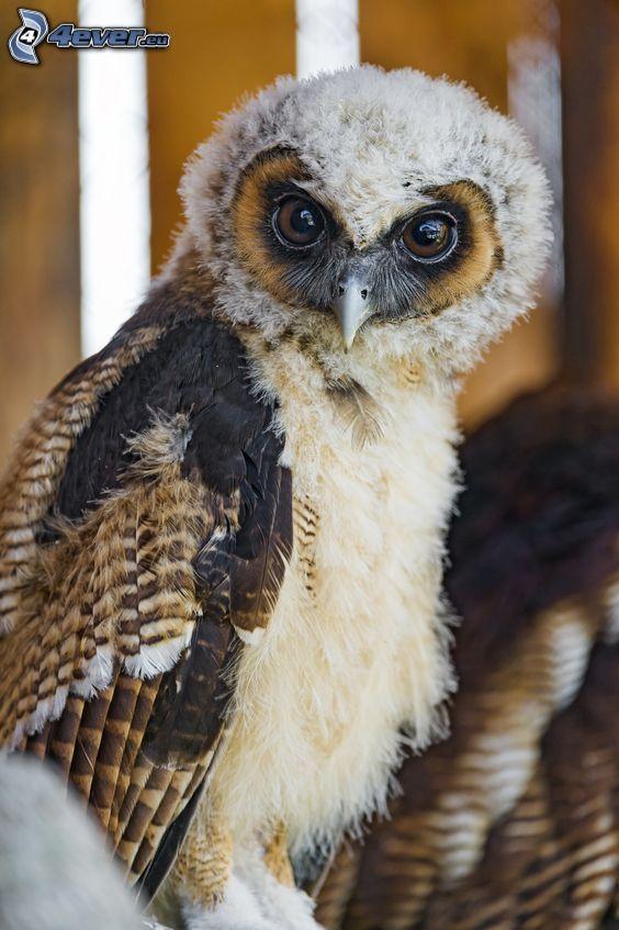 owl, cub