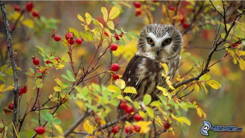 owl, dog rose, branches