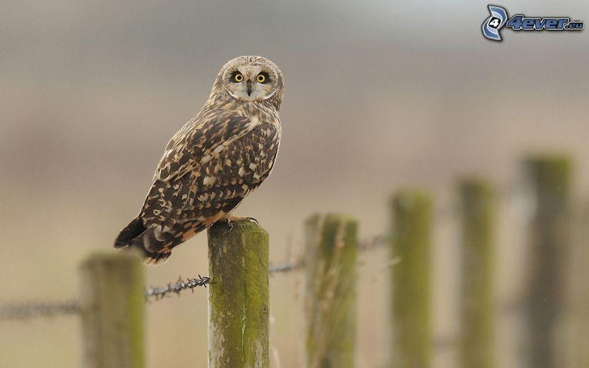 owl, palings