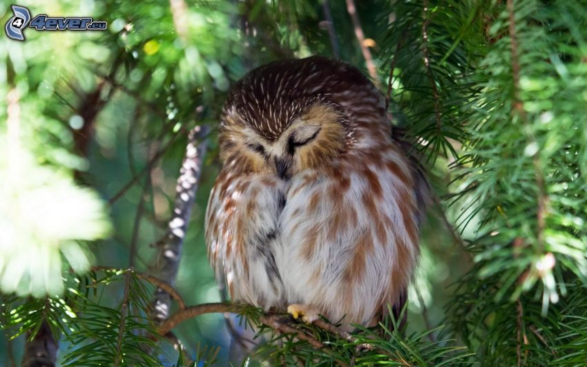 owl, sleep, conifer
