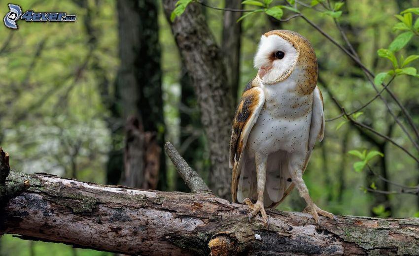 owl, stump
